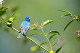 Florida  Immokalee  Indigo Bunting Perched in Jasmine Bush