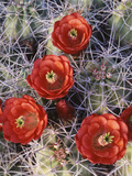 California  Joshua Tree National Park  Claret Cup Cactus Wildflowers