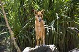Australia, Northern Territory, Darwin. Territory Wildlife Park. Dingo Papier Photo par Cindy Miller Hopkins