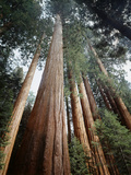 California  Sierra Nevada Old Growth Sequoia Redwood Trees