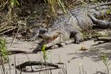 Australia, Daintree National Park, Daintree River. Saltwater Crocodile Papier Photo par Cindy Miller Hopkins