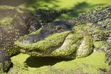 Australia, Broome. Malcolm Douglas Crocodile Park. American Alligator Papier Photo par Cindy Miller Hopkins