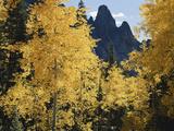 Colorado  Rocky Mts  Uncompahgre Nf Fall Colors of Aspen Trees