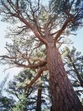 California  Sierra Nevada  Inyo Nf  Old Growth Ponderosa Pine Tree