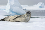 Antarctica Charlotte Bay Leopard Seal Sleeping on an Ice Floe
