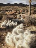 California  Joshua Tree National Park  Prickly Pear Cactus in the Mojave Desert