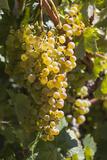 Australia  Clare Valley  Sevenhill  Winery Vineyard