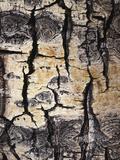 California  Sierra Nevada  Inyo Nf  Abstract of Aspen Tree Trunk