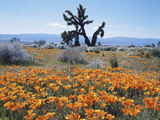 California  Antelope Valley  Joshua Trees in California Poppy