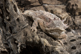 Arizona, Madera Canyon. Close Up of Regal Horned Lizard Papier Photo par Jaynes Gallery