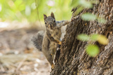 Eastern Sierra Nevada an Inquisitive Douglas Squirrel or Chickaree