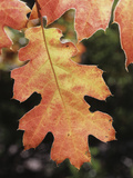 California  an Autumn Colored Oak Leaf in the Forest