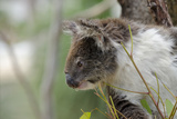 Australia  Perth  Yanchep National Park Koala Bear a Native Arboreal Marsupial