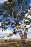 Australia  Fleurieu Peninsula  Normanville  Field with Cows