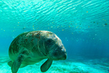 Manatee Swimming in Clear Water in Crystal River, Florida Papier Photo par James White