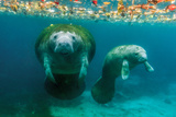 Mother Manatee with Her Calf in Crystal River, Florida Papier Photo par James White