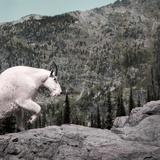 Mountain Goat Climbing Rocks in Glacier National Park  Montana