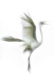 Great Egret in Flight  Digitally Altered
