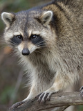 Raccoon, Procyon Lotor, Florida, USA Papier Photo par Maresa Pryor
