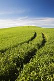 Tracks Leading Through Wheat Field