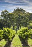 Australia  Adelaide Hills  Gumeracha  Vineyard