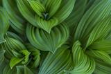 Corn Lily Aka False Hellebore in Glacier National Park  Montana  USA