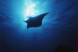 Mania Ray, Manta Alfredi, Island of Yap, Micronesia Papier Photo par Stuart Westmorland