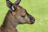 Close Up or Portrait of Wallaby