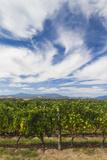 Australia  Victoria  Yarra Valley  Vineyard