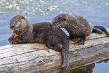 Wyoming  Yellowstone National Park  Northern River Otter Pups Eating Trout