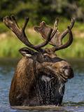 Bull Moose Feeding in Glacier National Park  Montana  USA