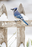 Wichita County  Texas Blue Jay  Cyanocitta Cristata  Feeding in Snow