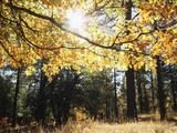 California  Laguna Mountains  Cleveland Nf  California Black Oak Tree