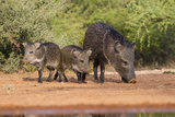 Starr County  Texas Collared Peccary Family in Thorn Brush Habitat