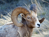 Rocky Mountain Bighorn Sheep  Ovis Canadensis Canadensis  BC  Canada