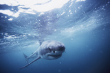 South Africa  Great White Shark Swimming in Sea
