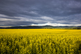 Canola Field in Morning Light in the Flathead Valley of Montana  USA