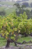Australia  Fleurieu Peninsula  Mclaren Vale Wine Region  Vineyard View
