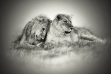 Lioness and Son Sitting and Nuzzling in Botswana Grassland  Africa