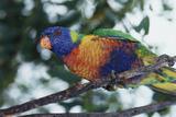 Australia  Eastern States of Australia  Close Up of Rainbow Lorikeet