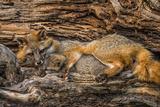 Minnesota, Sandstone, Minnesota Wildlife Connection. Grey Fox and Kit Papier Photo par Rona Schwarz