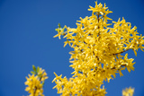 Yellow Flowers of Forsythia against the Blue Sky