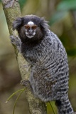 A Black Tufted Ear Marmoset  Callithrix Penicillata  in the Atlantic Forest
