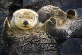 Two Sea Otters Holding Paws at Vancouver Aquarium in Vancouver  British Columbia Canada