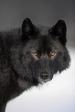 Close-Up Archipelago Wolf