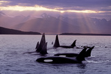Orca Pod in Lynn Canal with Sunrays on Chilkat Mtn Ak Se Summer Evening