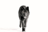 Archipelago Wolf