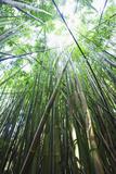 Hawaii  Maui  Hana  a Path Through Green Bamboo