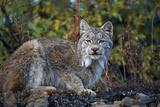 Adult Lynx on Hill Side Denali Np in Alaska Summer