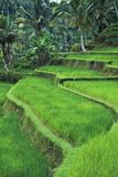 Terraced Fields of Rice
